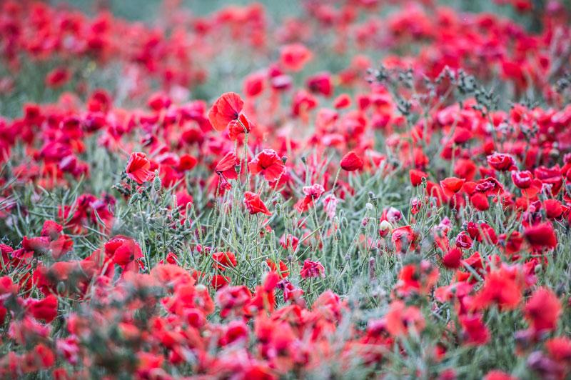20130702-Poppies-079