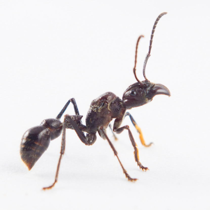 The omni=present Bullet Ant - most painful insect bite in the world!