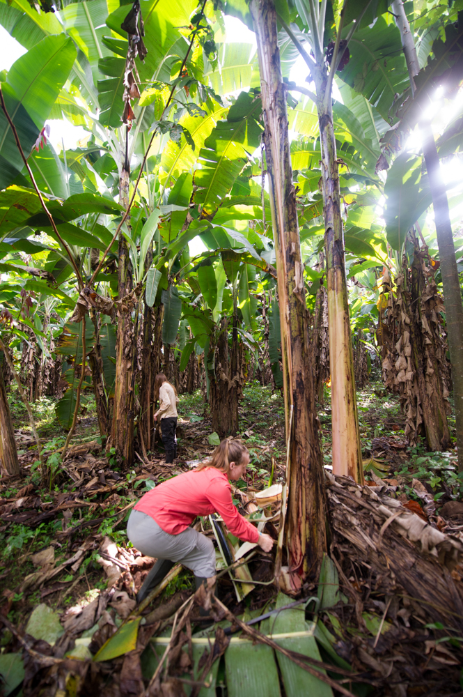 "Helping ""fix"" the banana tree plantation"
